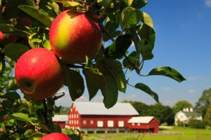 Apple Orchard, Frederick County, VA